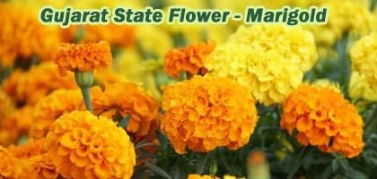 Which Is State Flower Of Gujarat India Marigold Galgota Photos Types