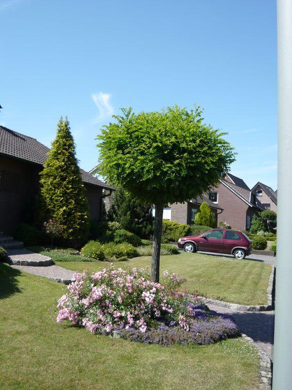 Prunus fruticosa u0027Globosau0027 (u0027Nanau0027) Kugel-Steppen-Kirsche - baume fur den vorgarten