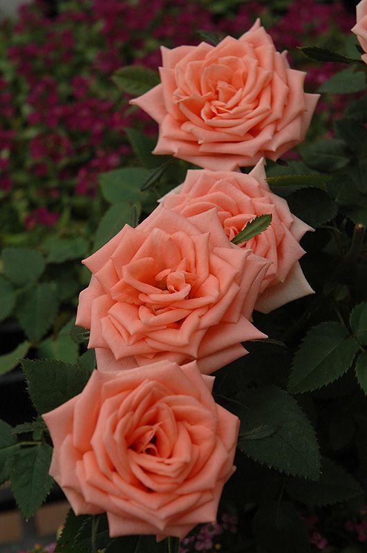 Miniature Rose: Rosa 'Pink Kordana' (Germany, before 1997)