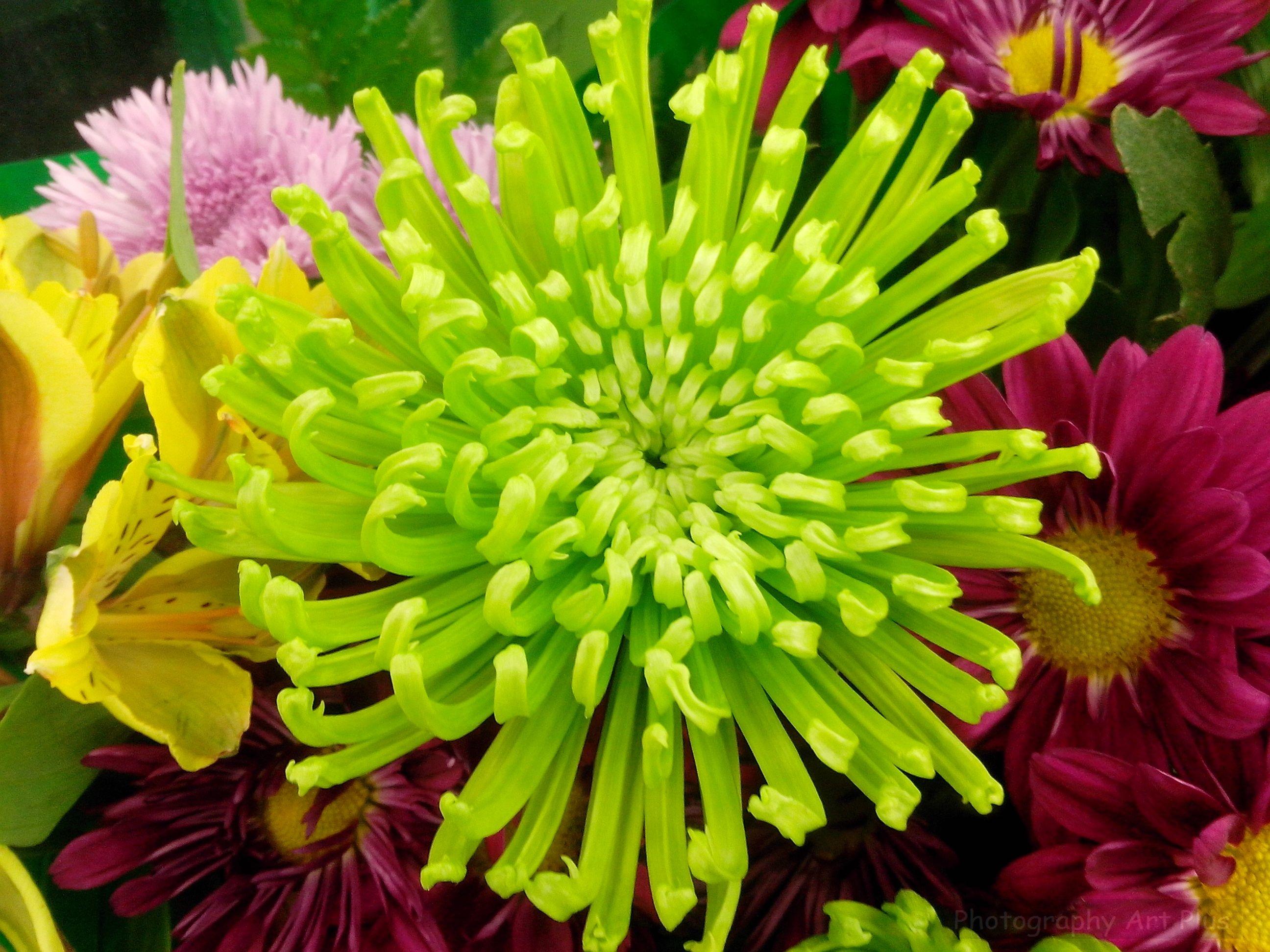 planta crisantemo