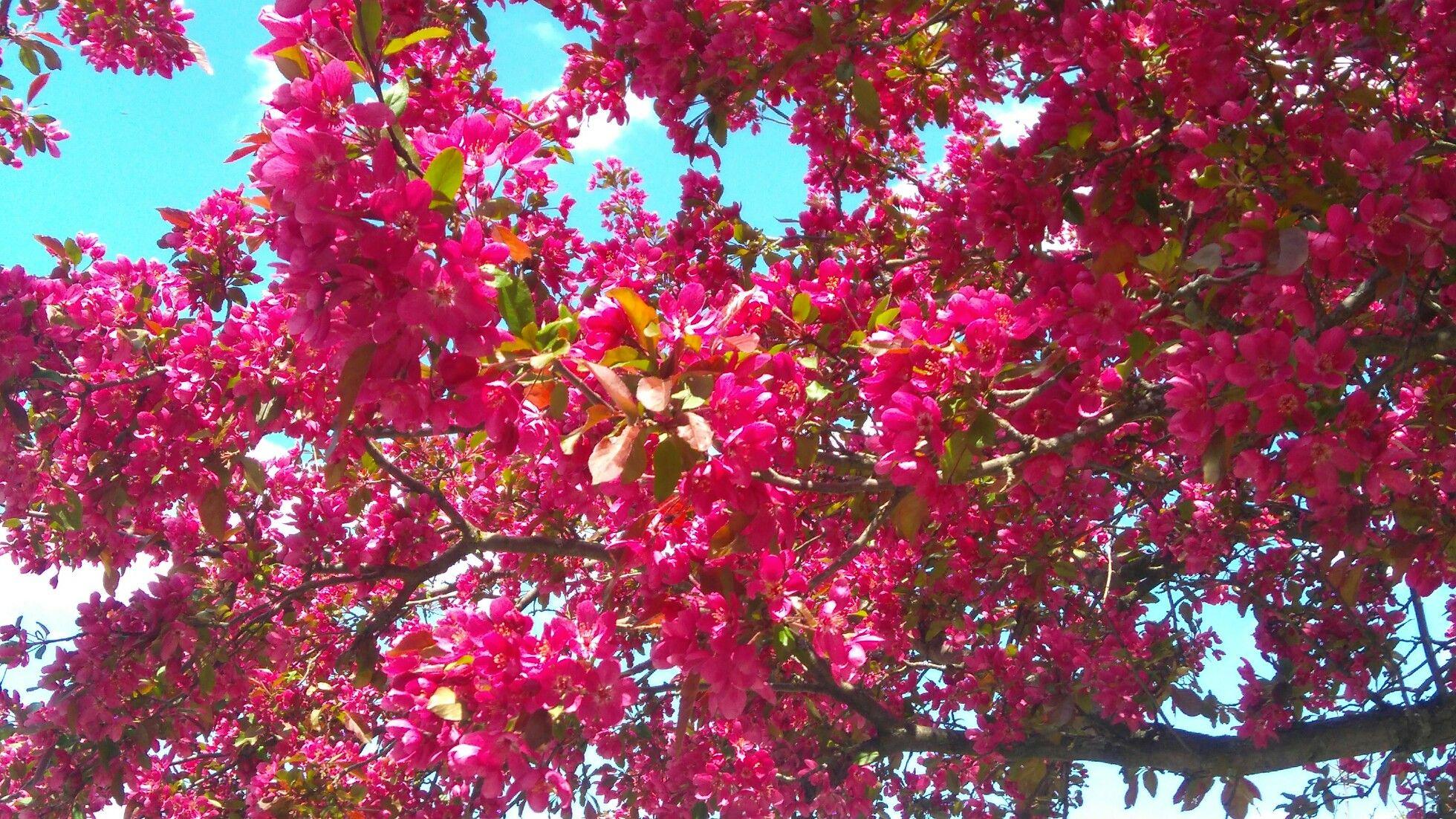 Magnolia Tree Flowering Trees Magnolia Trees Magnolia Flower