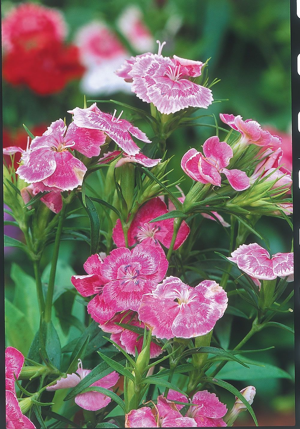 At just 5 inches tall, dianthus 'Wee Willie' is ideal for