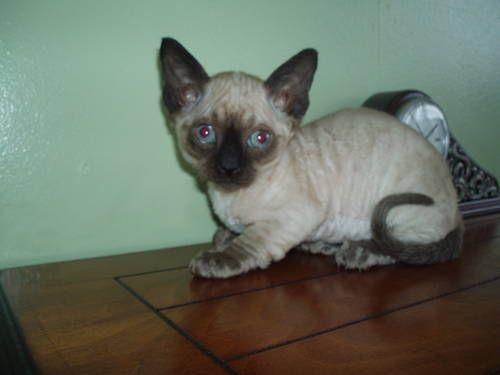 Minskins For Sale Pakistan Minskin Breeders Grooming Cat Kittens Reviews Articles Devon Rex Cats Kittens Fancy Cats