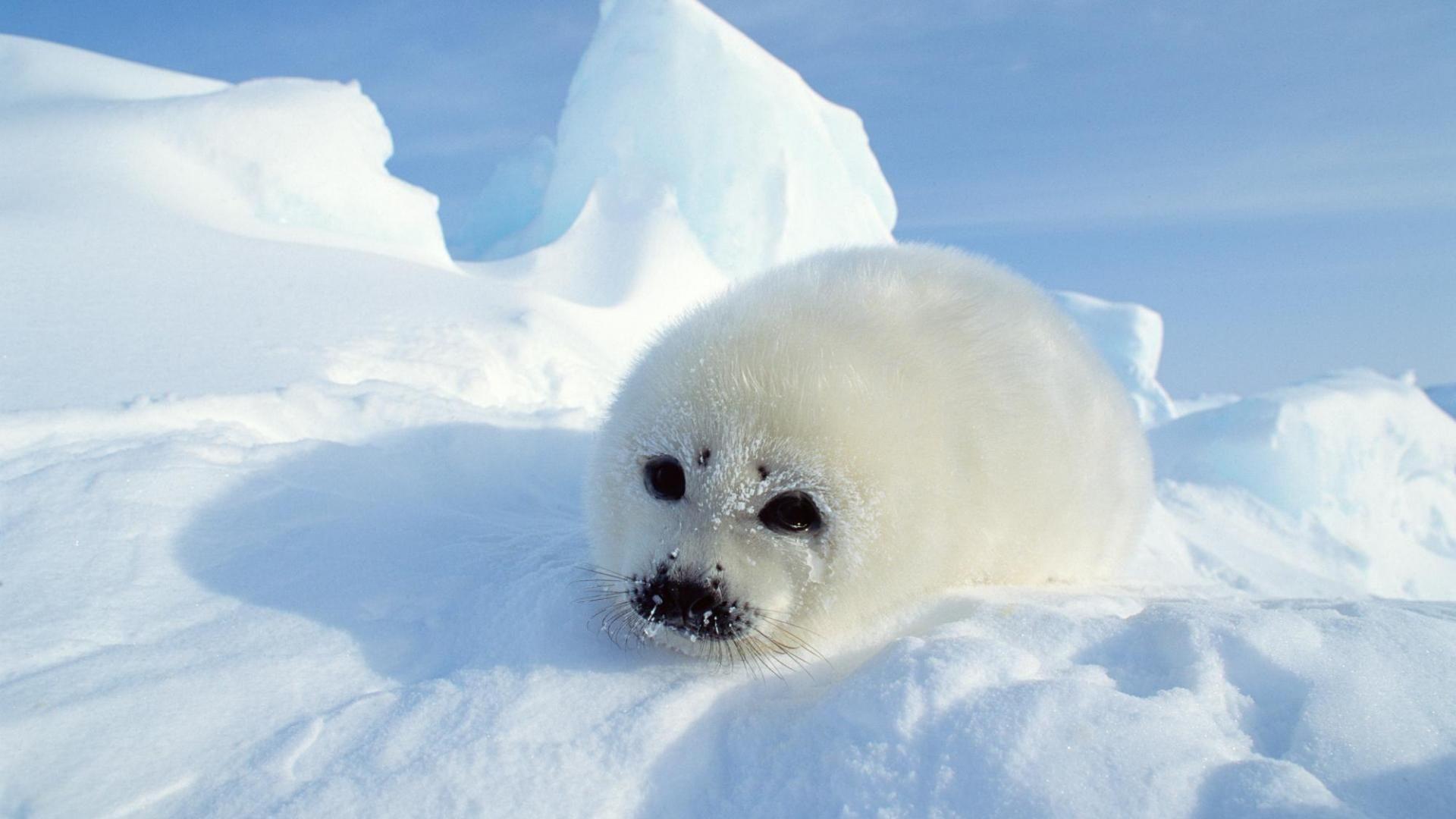 Seal Baby Nature Wild Animals Snow Ice Arctic Hd Wallpaper