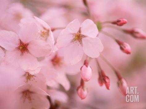 Cherry Blossoms Photographic Print Art Com Cherry Blossom Pictures Cherry Blossom Wall Art Blossom
