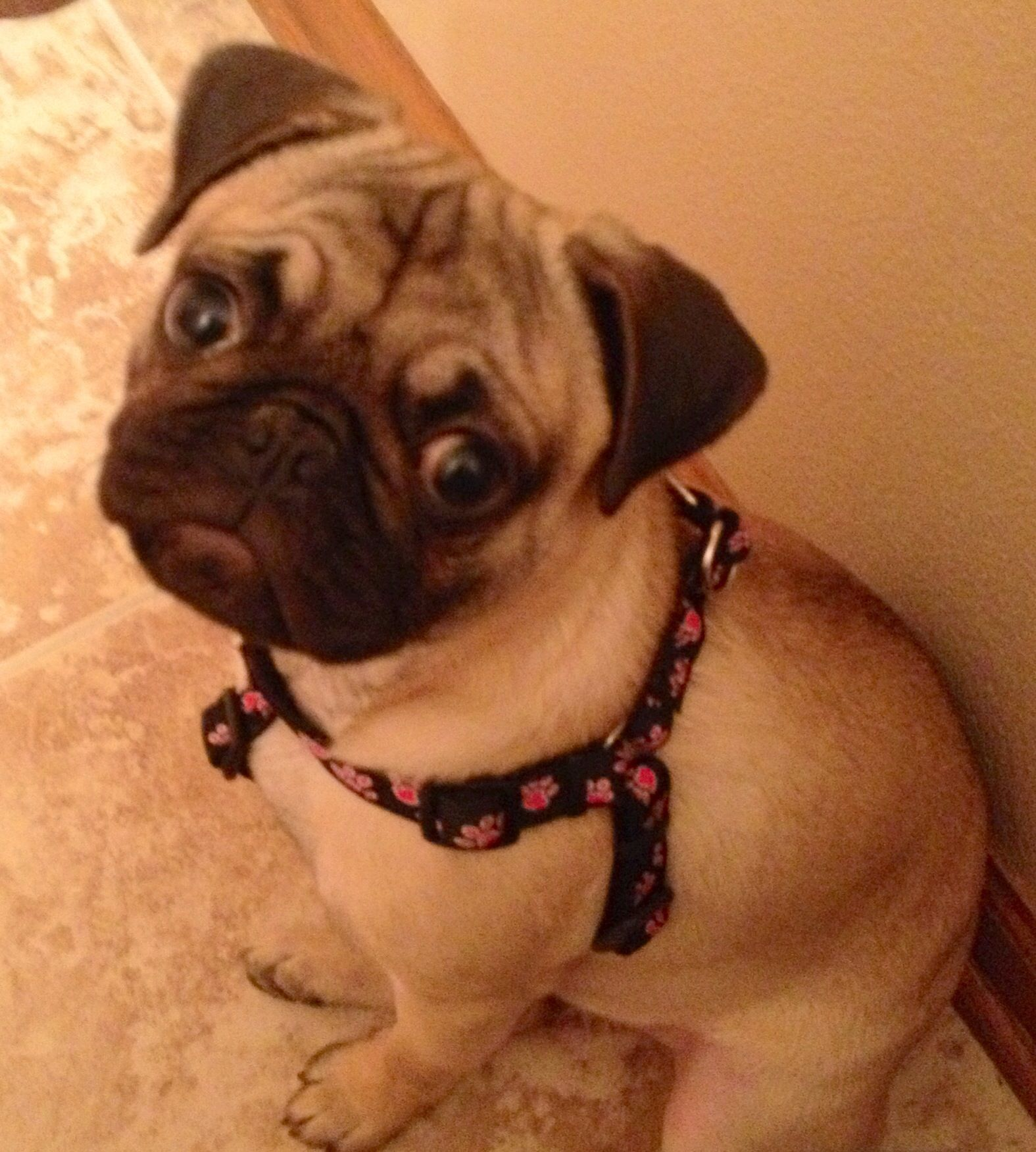 Where S My Treat Mommy Pug Life Animals Dogs