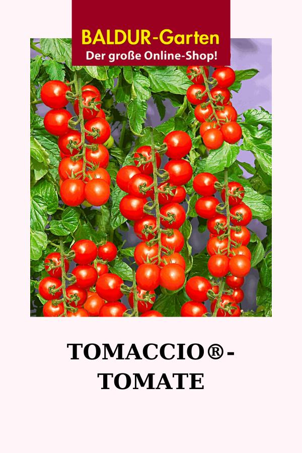 Tomaccio Tomate Tomaten Bei Baldur Garten In 2020 Tomaten Sorten Tomaten Tomaten Ernten