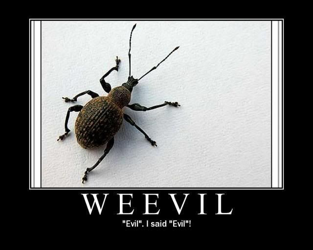 Weevils In Pantry Weevil Pictures Images And Photos