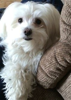 8 Year Old Male Maltese Dog Maltese Dogs Dogs Maltese Puppy