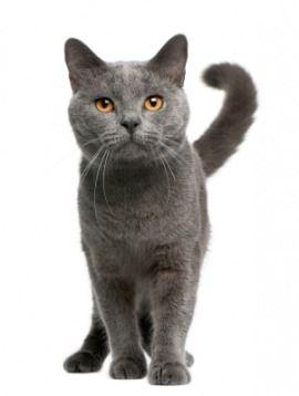 Sebastian Cat Breeds Grey Cats