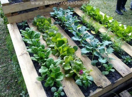 Veggie patch in a pallet garden - I love all of these ideas for re-using pallets!