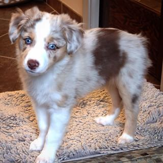 From glacier blue…   19 Reasons Australian Shepherds Are The Best-Looking Dogs In The World
