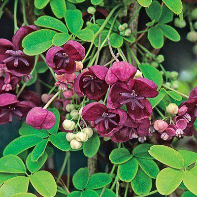 Chocolate Vine - Direct Gardening | Vines, Climbing vines ...