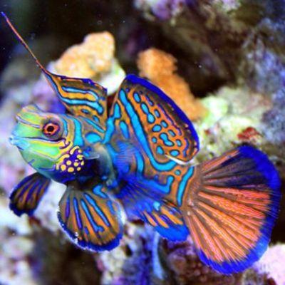 Pez mandar n es un peque o pez de colores brillantes es for Pacifico fish company