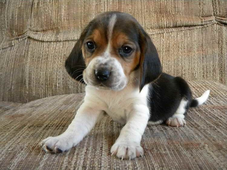 Pin By Van Phan On Please Rescue 0 Basset Hound Mix Animals Dogs