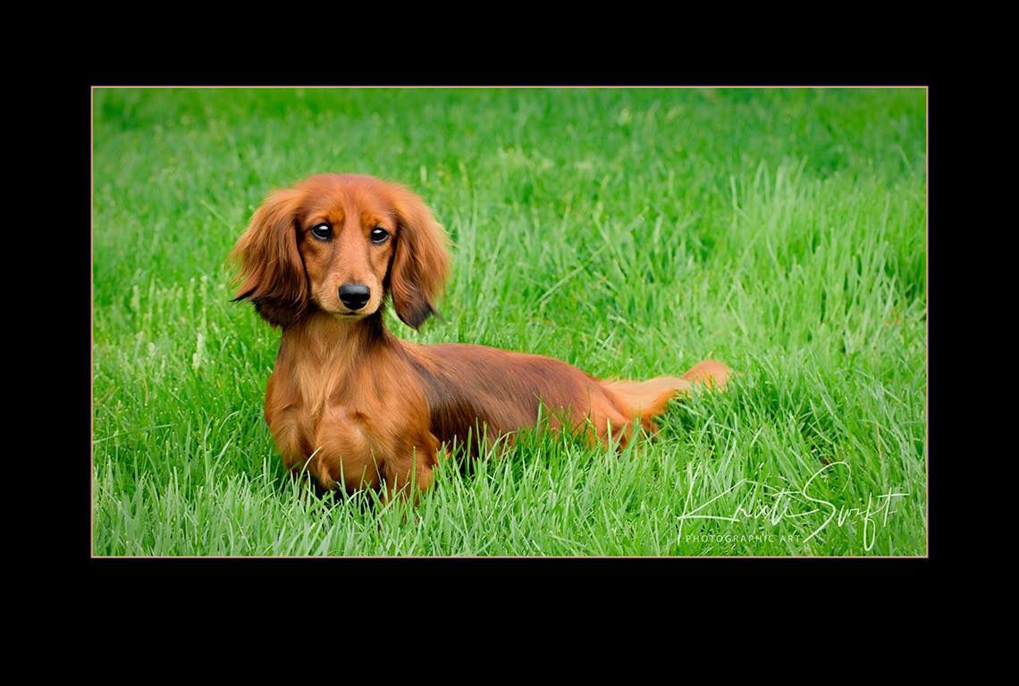 AKC red long haired dachshund Long haired dachshund