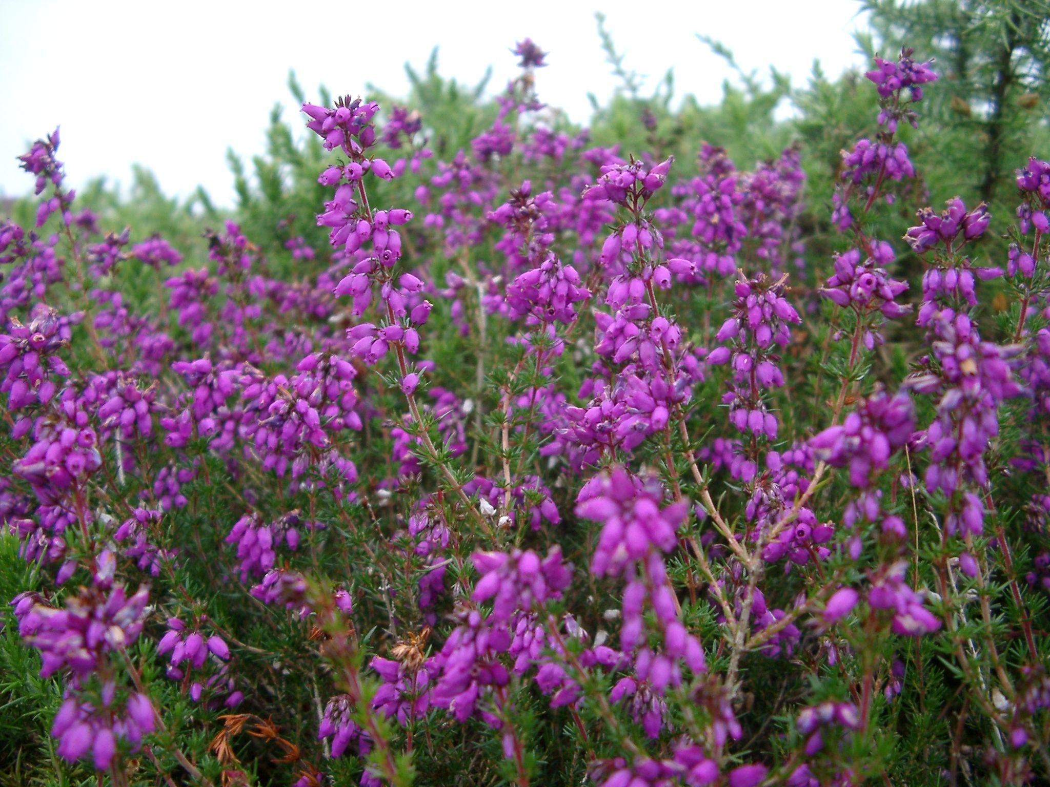 Google Image Result For Http Www Photoeverywhere Co Uk Britain Ukwild Heather3912 Jpg Flowering Bushes Scent Garden Flowers
