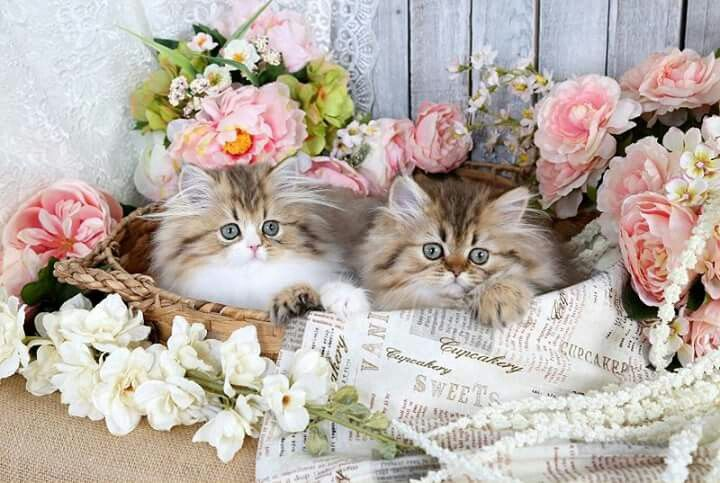 BLUE POINT HIMALAYAN Cute animals, Persian kittens for
