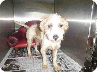 Los Angeles, CA - Jack Russell Terrier Mix. Meet A1425387 a Dog for Adoption.