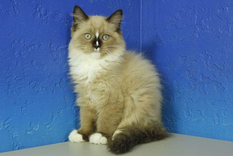 Nooki Seal Bicolor Mink Male Ragdoll Kitten Siberian Cats For