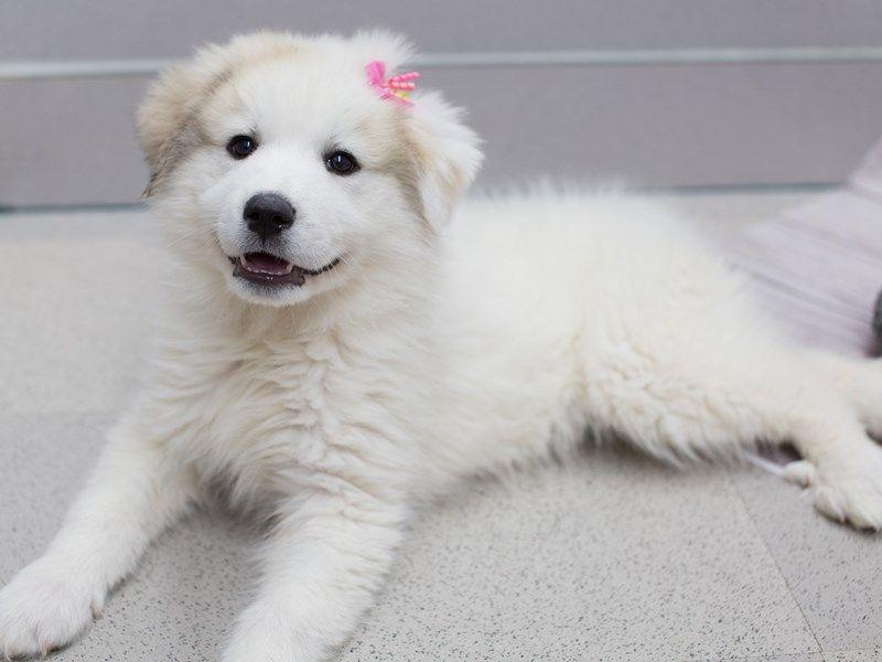 Petland puppies for sale wichita ks