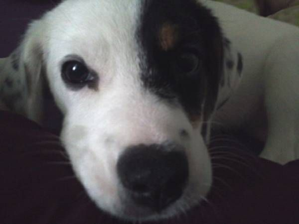 Beagle Mix Puppy For Adoption In Northern Ny Httpwatertown