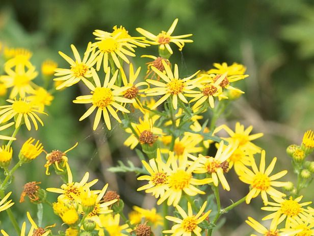 Annual And Biennial Weeds The Yellow Daisy Flowers Of This Tall Plant Are Produced In