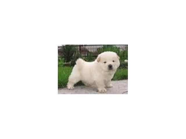 Chow White Or Golden Pup Pretoria Tshwane Puppies Puppies