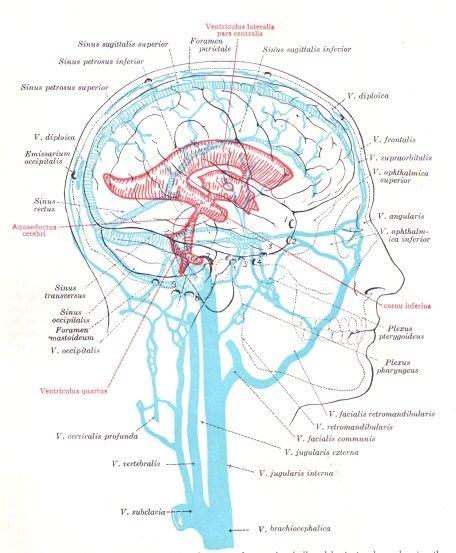 scalp brain diagram wiring diagram Scalp Derm Diagram do this marma point scalp massage with newly discovered benefitsdo this marma point scalp massage with
