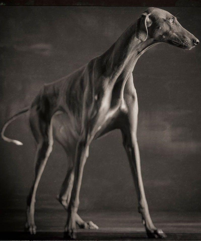 #Azawakh (African Hound) Photographer: Paul Croes