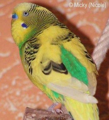 Australischer Schecke dunkelgrün Sittiche, Wellensittich