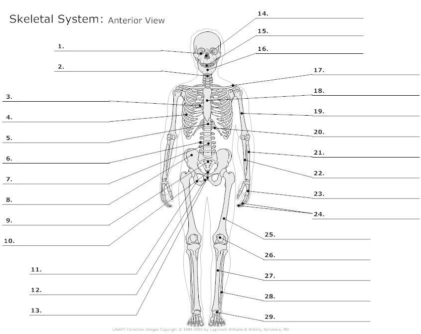 muscular system diagram not labeled