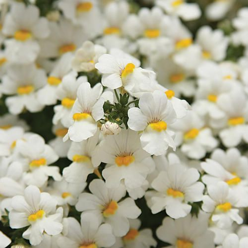 Nemesia sunsatia coconut this variety is outstanding with its nemesia sunsatia coconut this variety is outstanding with its pure white flowers and bright yellow center it just makes everything else in your mightylinksfo