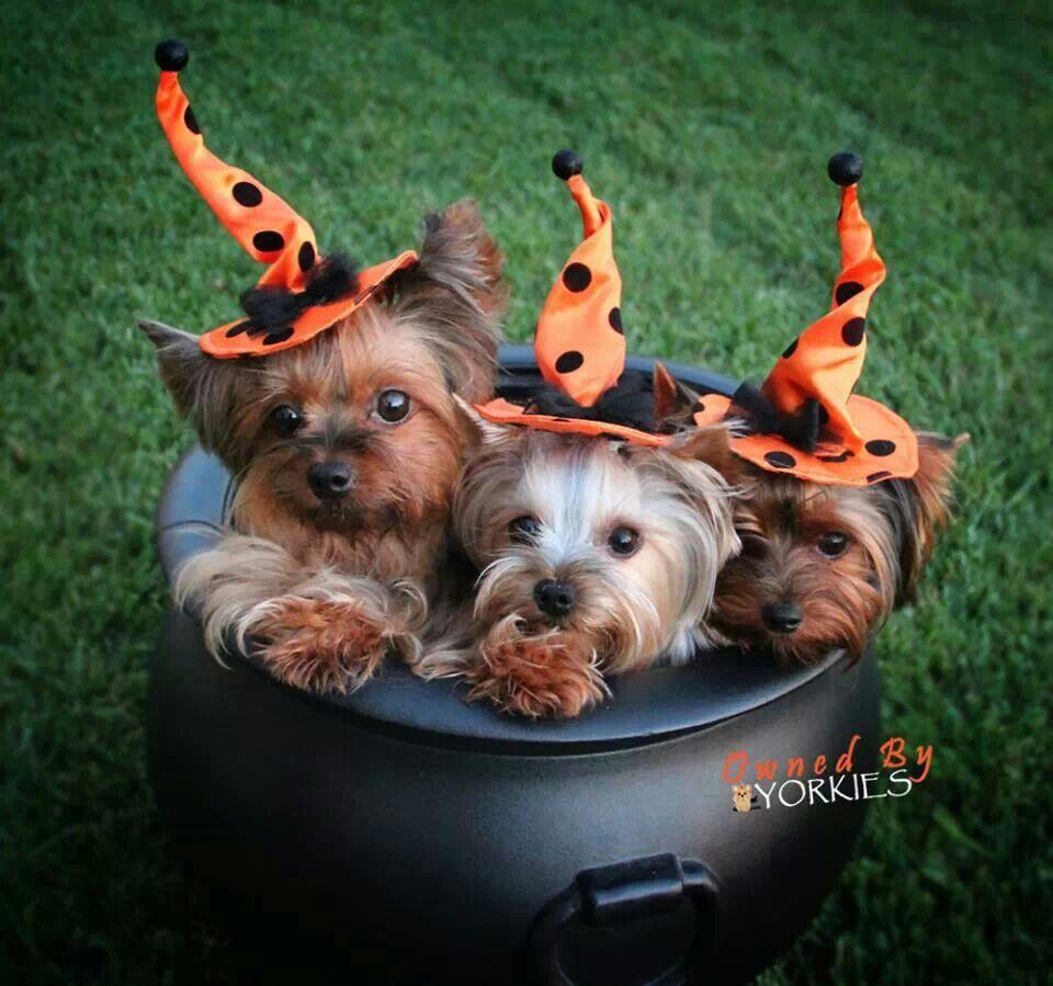Cute Halloween Animals Share Yorkie dogs, Cute animals