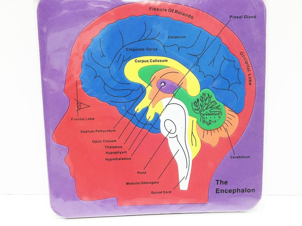 Brain anatomy foam puzzle | The brain | Pinterest