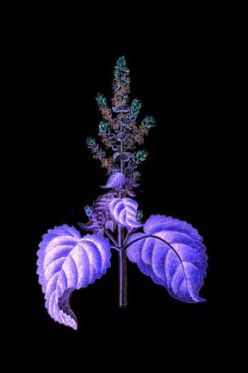 Clary Sage Oil - Often used in dreamwork, said to aid vivid and even lucid dreaming.