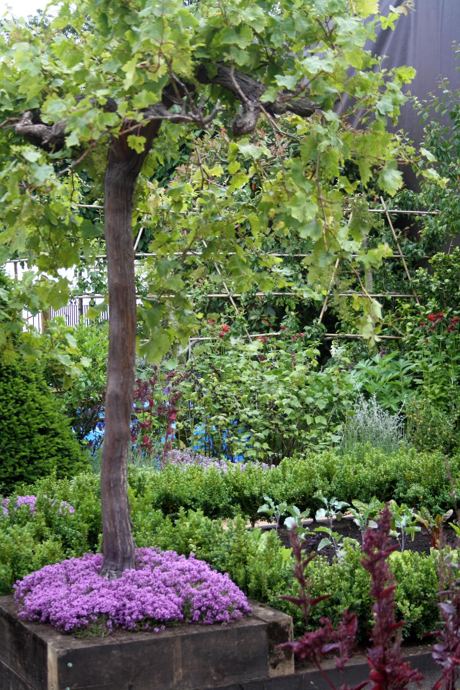 grape vines in pots - Google Search | growing grapes | Pinterest ...