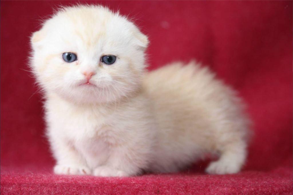 Facebook Munchkin Cat Thailand Munchkin Cat Munchkin Kitten Scottish Fold