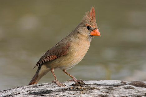 Cardinal Bird Photo Of A Female Northern Cardinal Bird In The