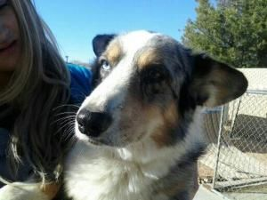 Ricky Is An Adoptable Welsh Corgi Dog In Victorville Ca Hi My
