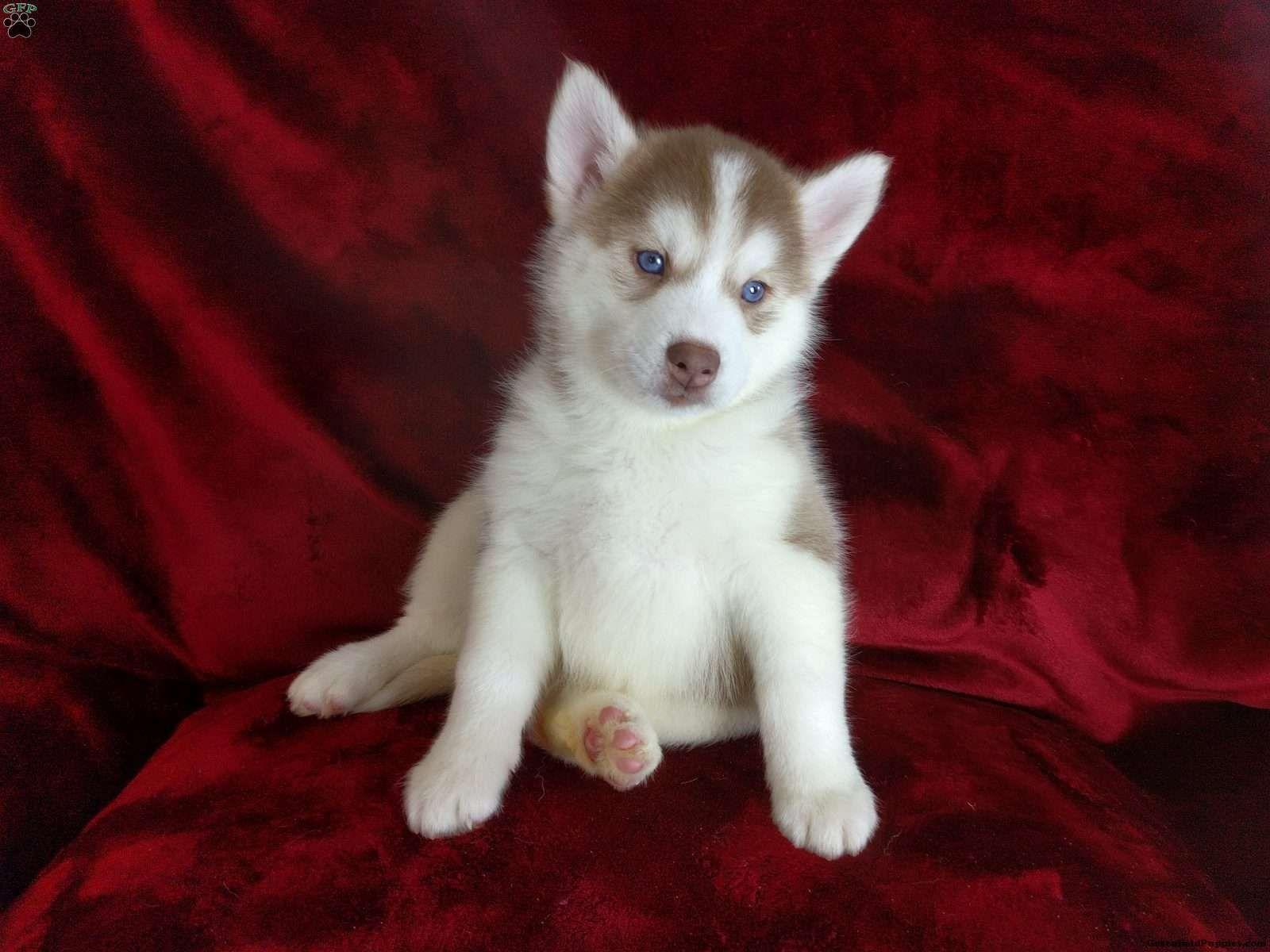 Litter Of 6 Siberian Husky Puppies For Sale In Los Angeles Ca Adn 47736 On Puppyfinder Com Gender Male S And Husky Puppies For Sale Husky Puppies For Sale
