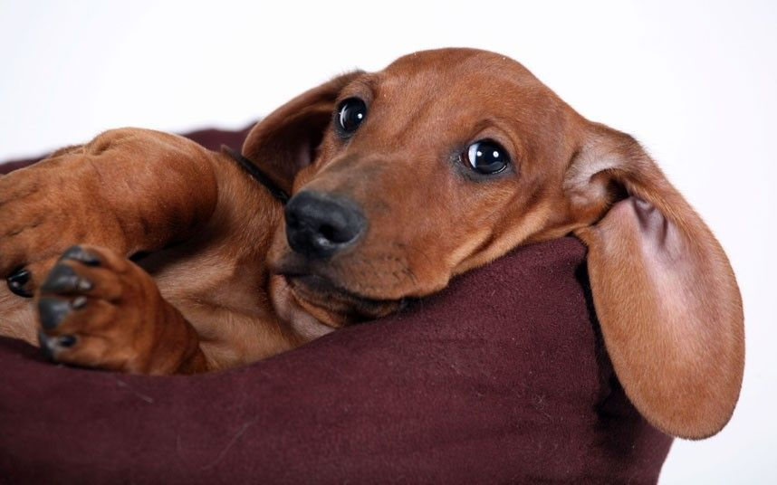 Cutie Dachshund Doxiedarlin Aggressive Dog Breeds Aggressive