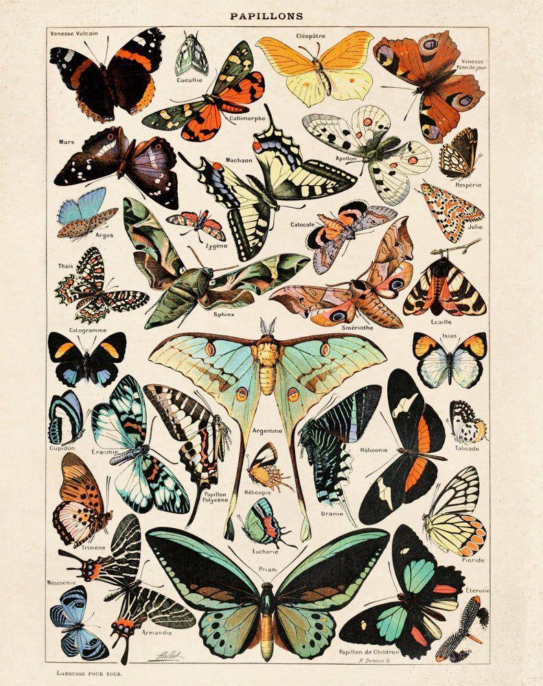 Photo of Butterfly Diagram 3 Papillons Poster Vintage Reproduction. Le Petit Larousse Illustré by Millot. Educational Chart Print Poster – A001P