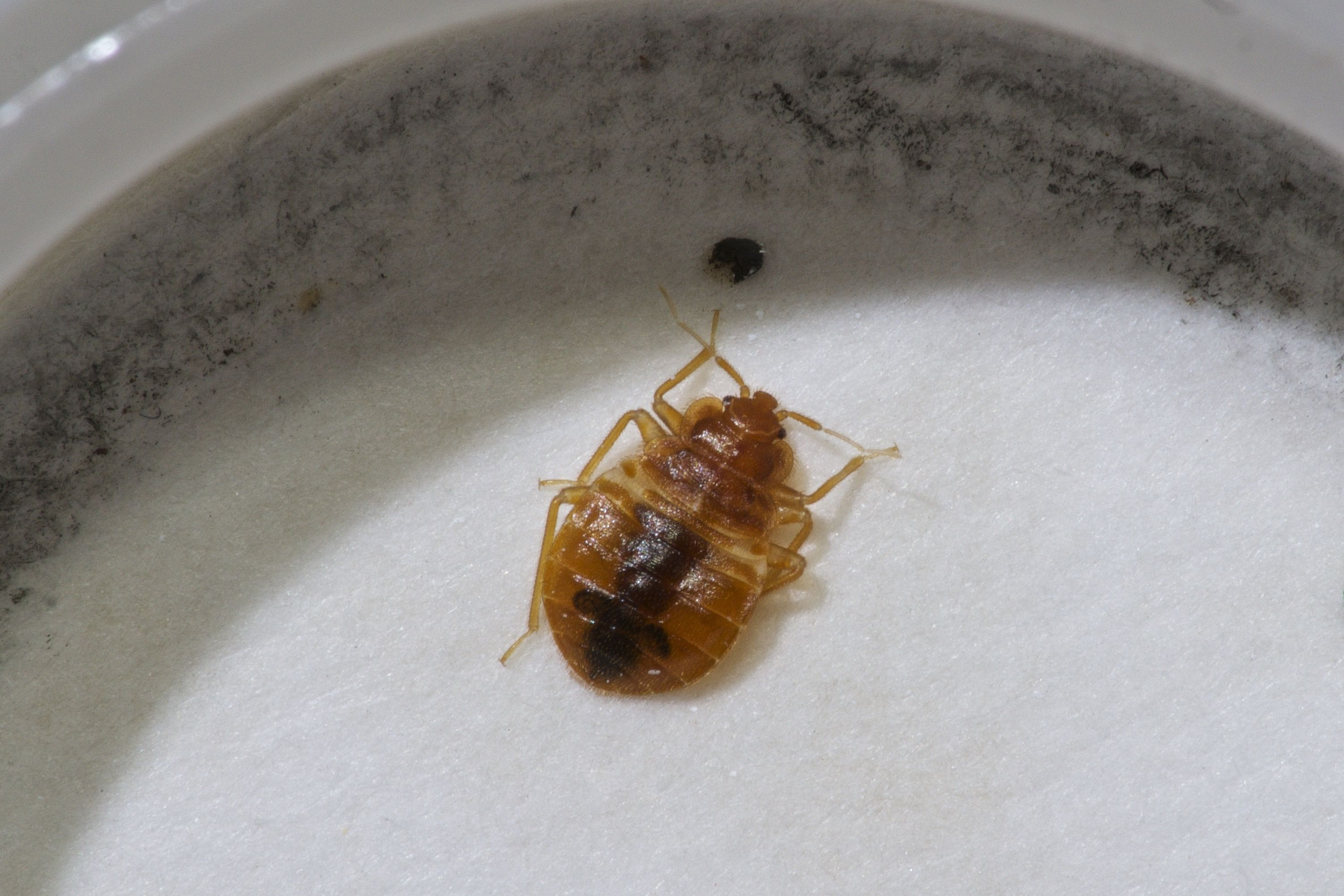 Treating Upholstered Furniture for Bed Bugs At a minimum
