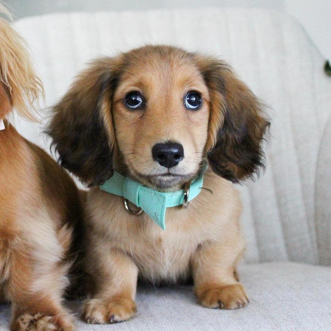 I M In Love Dachschunds Doggies Cute Dogs Dogs Dachshund