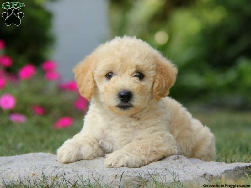 Miniature Poodle Mix Puppies For Sale In Pa Poodle Mix Puppies