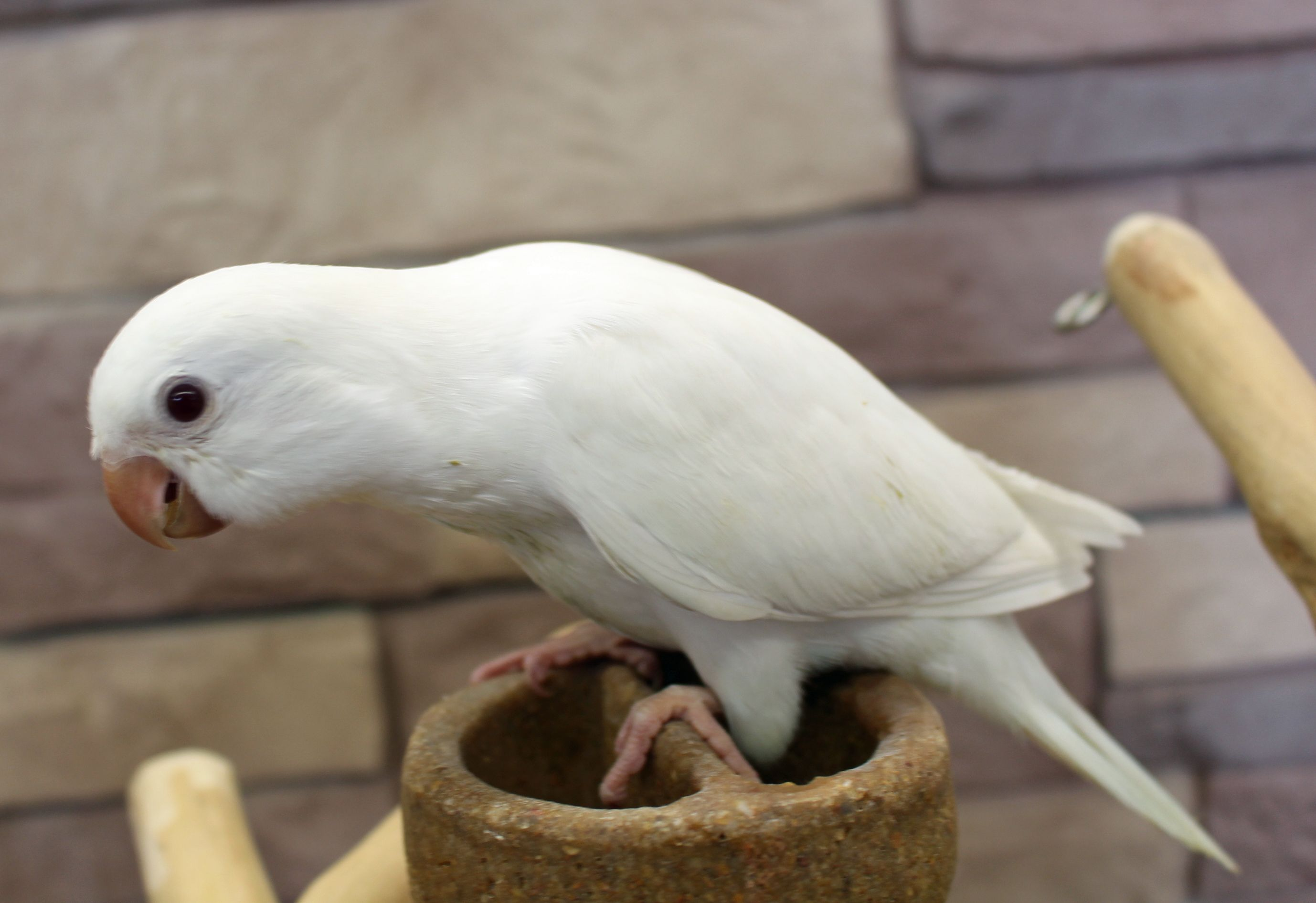 White Baby Parakeet White Quaker Parrot ht...
