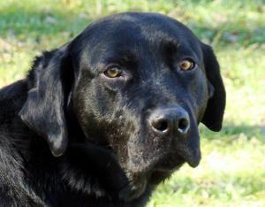 Adopt Luke On Labrador Retriever Dog Labrador Retriever