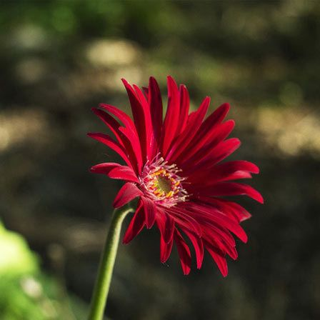 Top 15 Most Beautiful Aster Flowers Aster Flower Tattoos Aster Flower Family Flowers