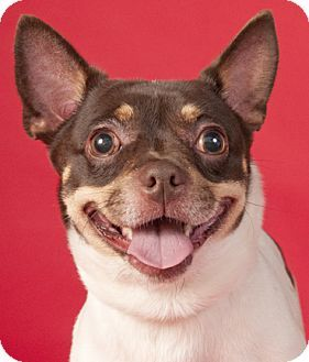 Chicago Il French Bulldog Chihuahua Mix Meet Bandit A Dog For